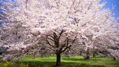 cherryblossoms01