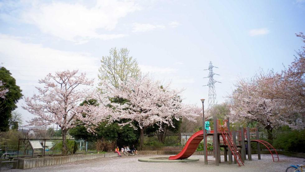 cherryblossoms02