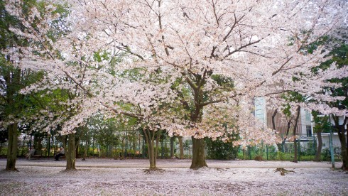 cherryblossoms06