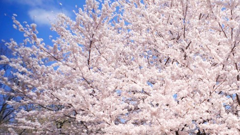 cherryblossoms11
